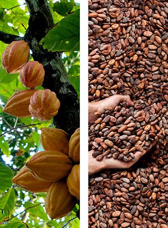 Cabosses / Fèves de cacao